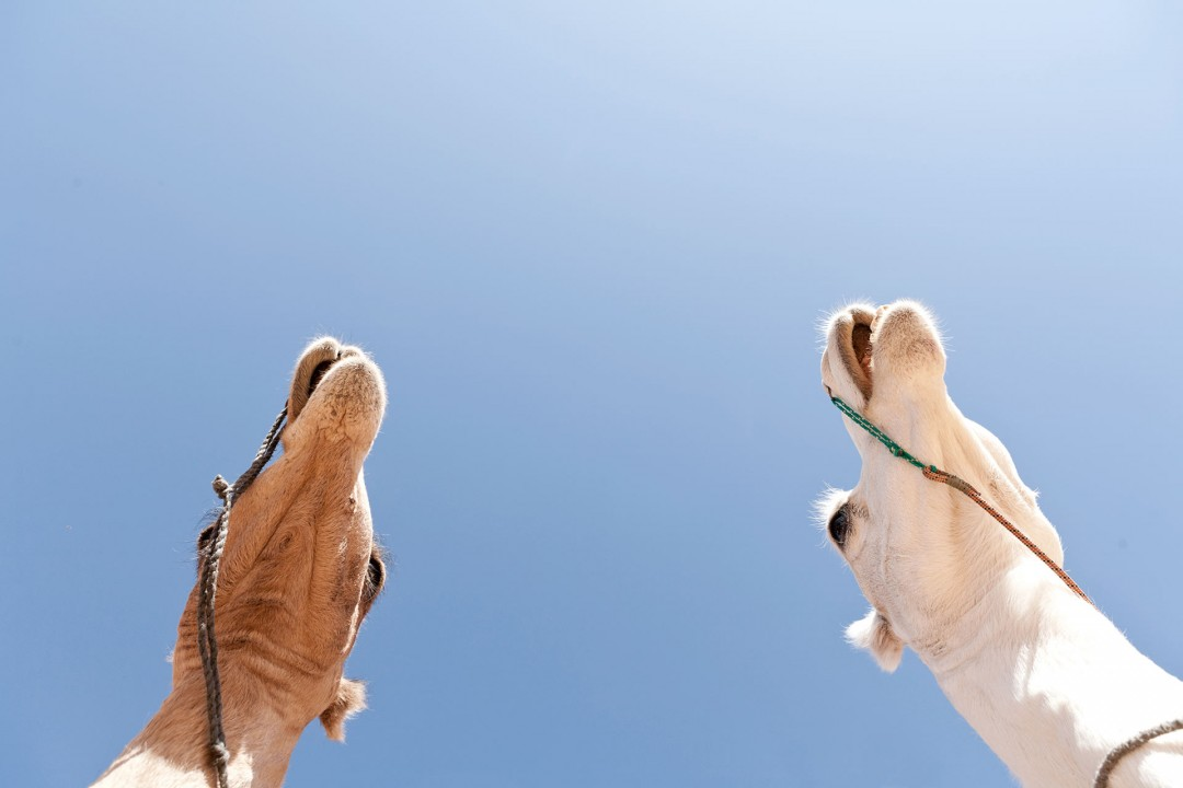 Nord Afrika, Libyen, Todrart Akakus Gebirge, Kameltrekking, von Adad – Aouiz- Telhedene- Sougat ,Tin Lalane, mit Tuarek - Fuehrern, Kamele, Kamel, Landschaft, Sand, schroffe Felsen, Wueste, Reisegruppe (alle modelreleased ), Reiten, Trekking, Wandern, Gruppenreise, wandern, Natur Erlebnis, draussen schlafen, Dromedar, Rock formations, Akkakus range, Libya, Tadrart AcacusAkkakus-Gebirge, Der Tadrart Acacus  ist ein Gebirge im Südwesten Libyens Es befindet sich unweit der libyschen Stadt Ghat und in der Naehe des Felsmassivs Idinen. Die Akkakus bzw. das Akkakus-Gebirge ist eine Wuestenlandschaft in Libyen. Wueste Bergen, Steinen, Sand und Duenen Felsmonumente, In Hoehlen finden sich fruehgeschichtliche Gravuren von Elefanten ua , die labyrinthische Bergwelt wird von Tuareg bereist und bevoelkert,