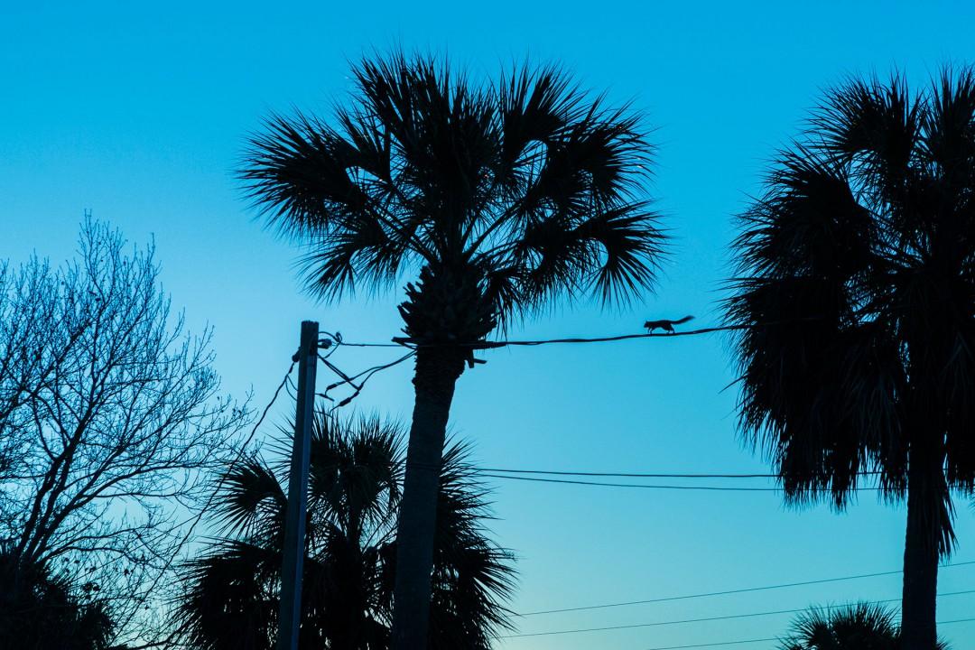 Reise Travel laif_creative USA, Amerika, United States of America, Florida, der Norden, Panhandle, Cedar Key  altes Florida, Kueste, Eichhoernchen Stromleitung Palmen