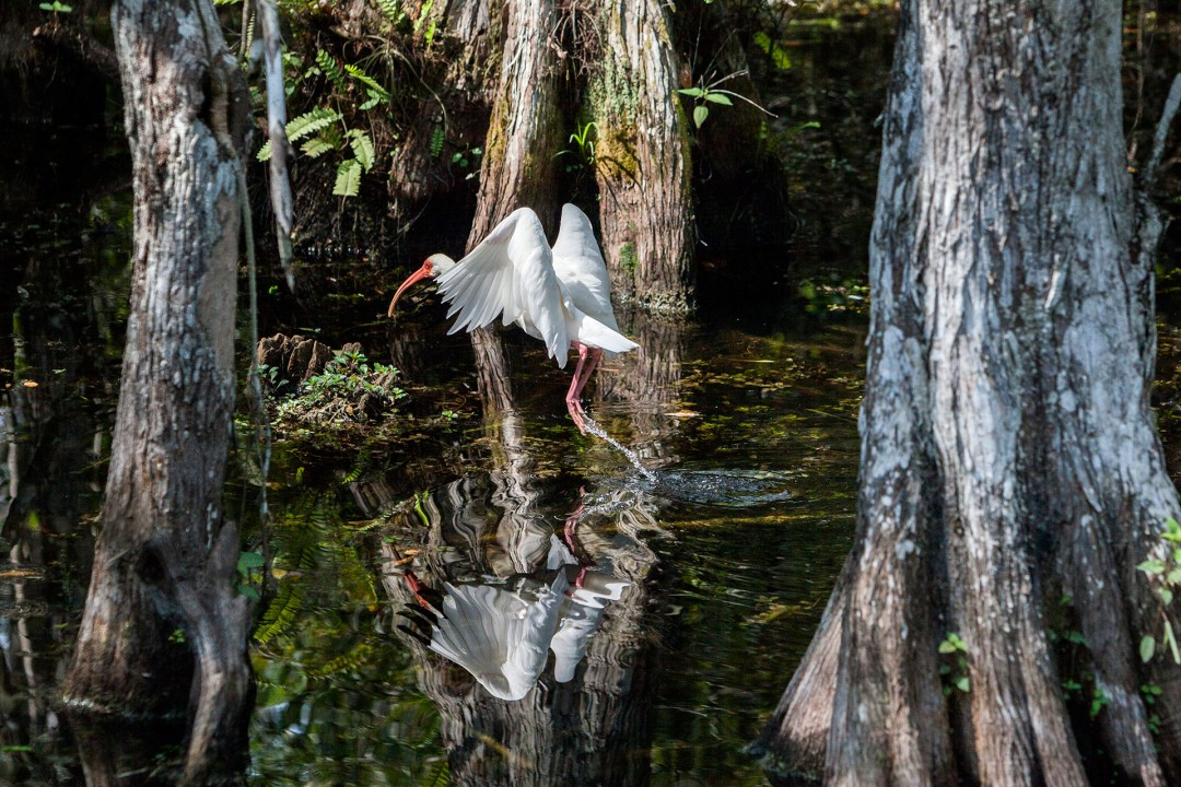 laif creative reise travel USA, Amerika, United States of America, Florida, Everglades City, Big Cypress Swamp Welcome Center, Outreach/Education Specialist, 33000 Tamiami Trail East, Ochopee, Big Cypress National Preserve.boardwalk, vogel, bird, Great Egret, (Ardea alba) Ibiss
