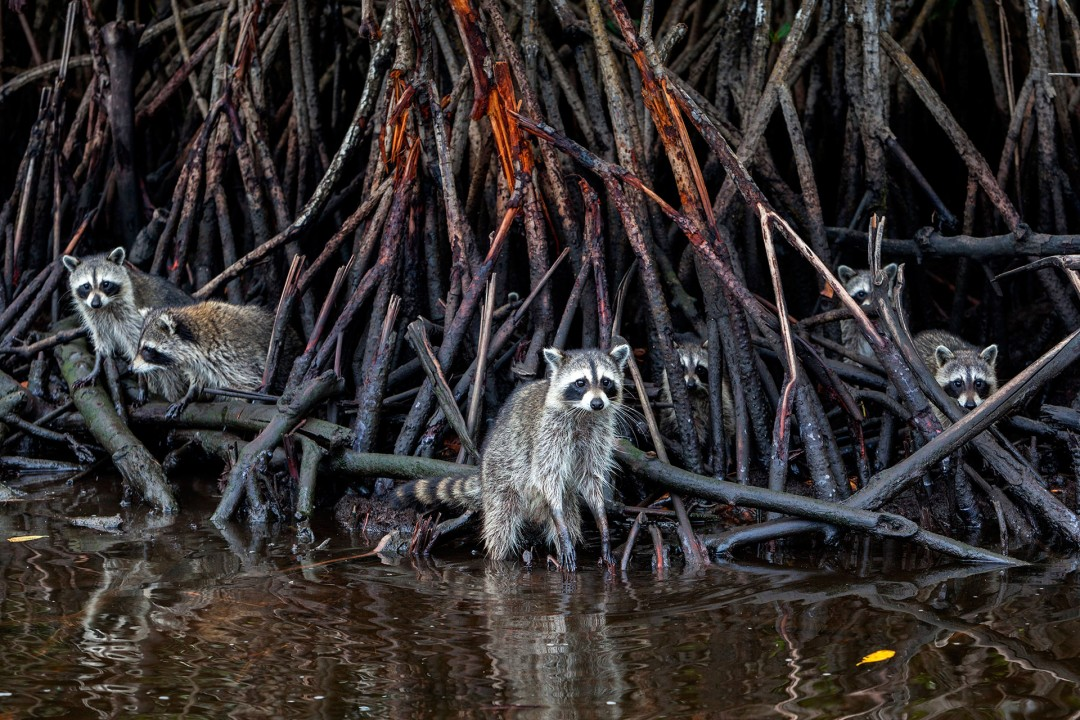 laif creative reise travel USA, Amerika, United States of America, Florida, Everglades city Mangroven, Captain Jack's Airboat Tours, Waschbaer, engl: Racoon