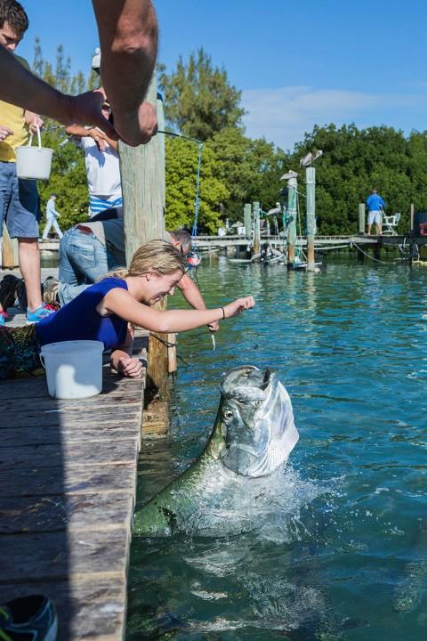 Reise Travel laif creative USA Amerika, United States of America, Florida, Florida Keys, Isla Morada, Islamorada: Tarpun-Fuetterung an Robbies Pier