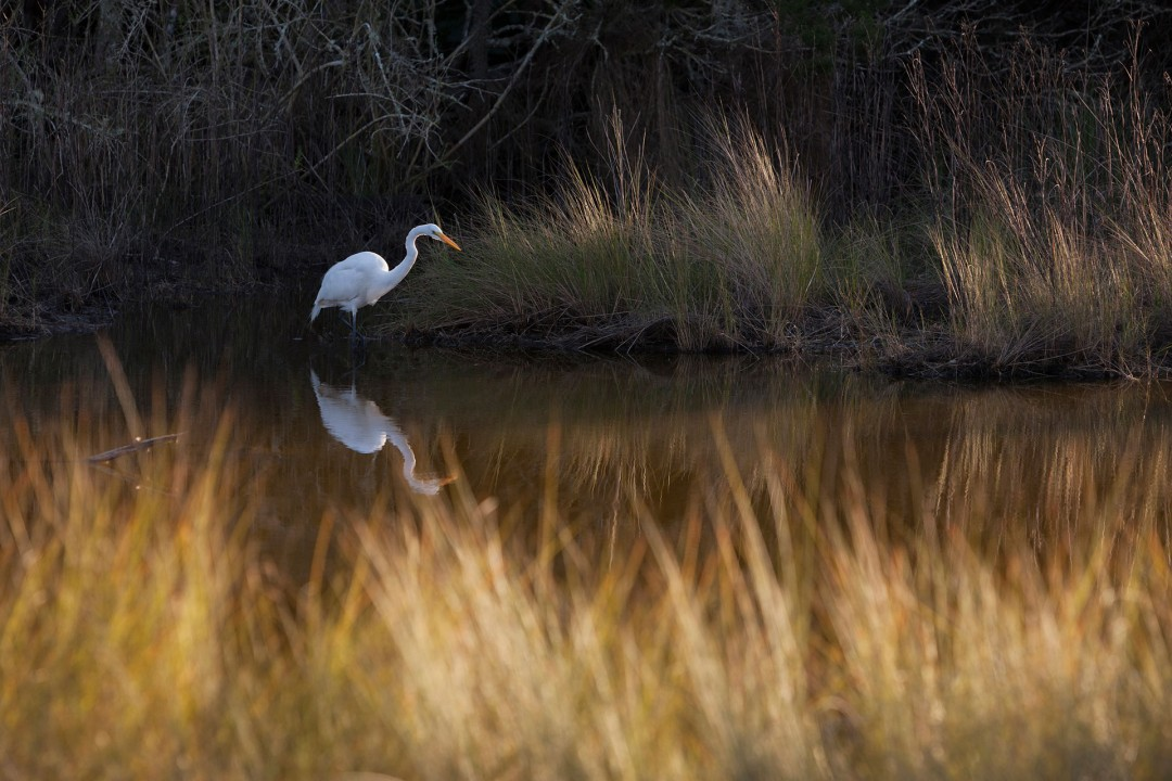 Reise Travel laif_creative USA, Amerika, United States of America, Florida, Golfkueste, Golf von Mexico, Citrus County, West Ozello Trail, Great Egret