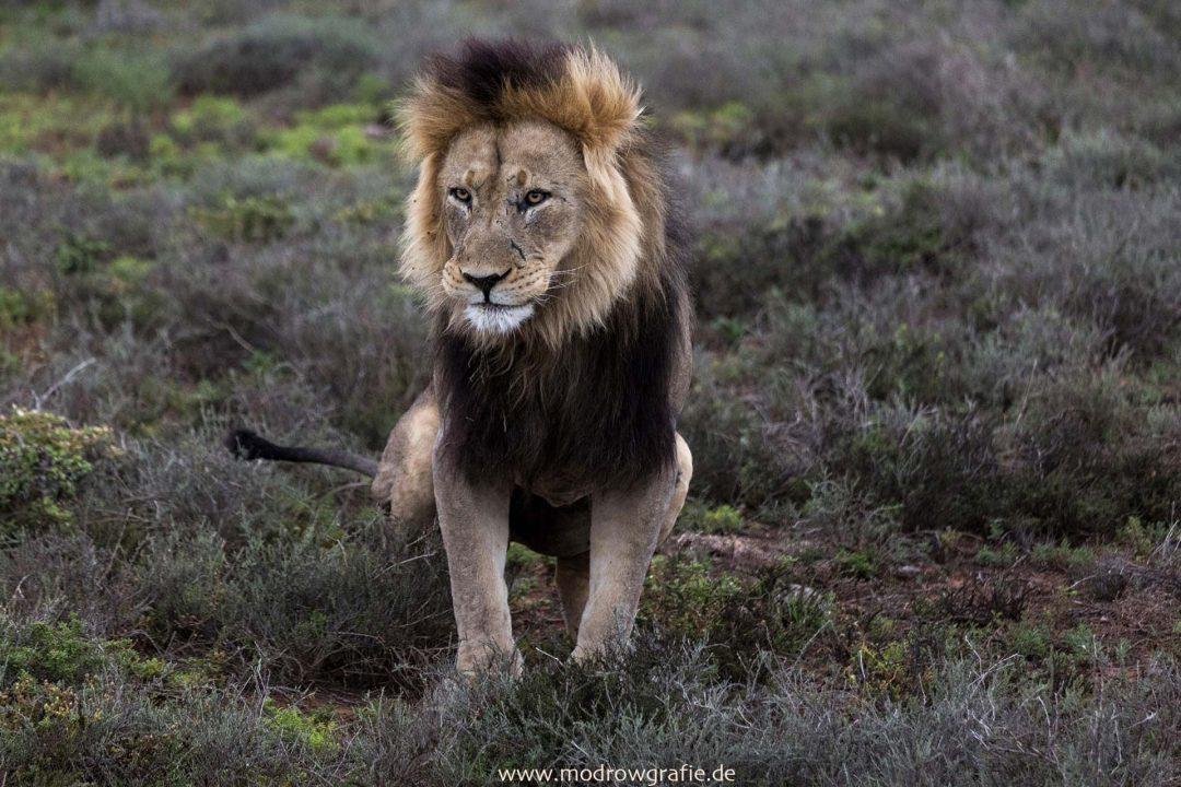 Suedafrika, Afrika, Garden Route, Natur, Addo Elefanten Park, Loewe, Loewen,Muede,  Engl: Southafrica, Travel, Addo, Addo Elephant National Park, Wildlife, Safari, Nature, Lion, Lions,