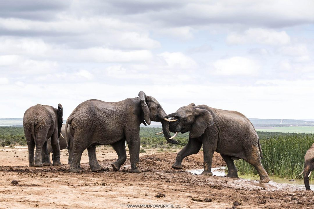 Suedafrika, Afrika, Garden Route, Natur, Addo Elefanten Park, Wasserloch, Herde,  Engl: Southafrica, Travel, Addo, Addo Elephant National Park, Wildlife, Safari, Nature, Elefants at the Waterhole,