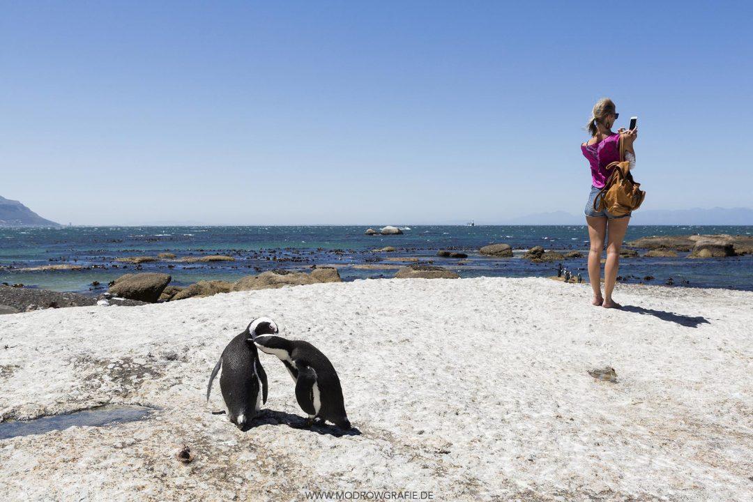 Suedafrika, Provinz Westkap, bei Kapstadt, Simon's Town, Boulders Beach, Brillenpinguine, Brillenpinguin, Pinguinkolonie, Pinguin, Pinguine, Spheniscus demersus, Wildlife, Fauna, Kap-Halbinsel, Table-Mountain-Nationalpark, Afrika,  English: South Africa, Western Cape, Cape Peninsula,