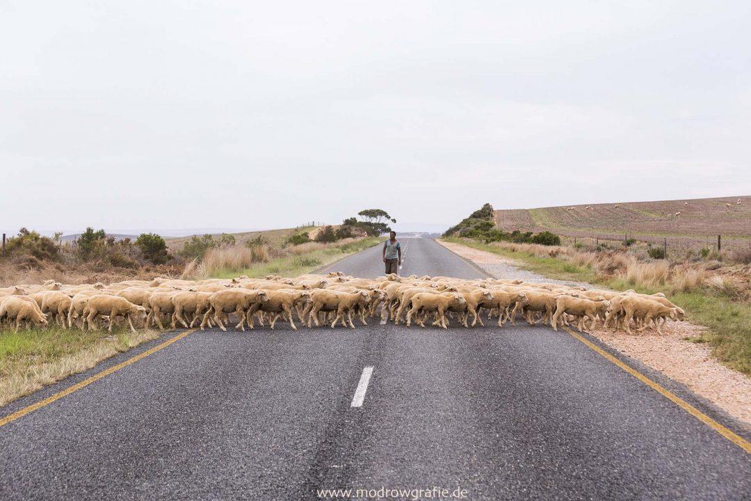 Suedafrika, Afrika, Provinz Westkap, Reise,  Landschaft, Farm, Schafe, Schaefer,  Engl: Southafrica, Western Cape, Southcoast, Landscape, Coast, Mountains, Nachtwach, Farming, sheep,